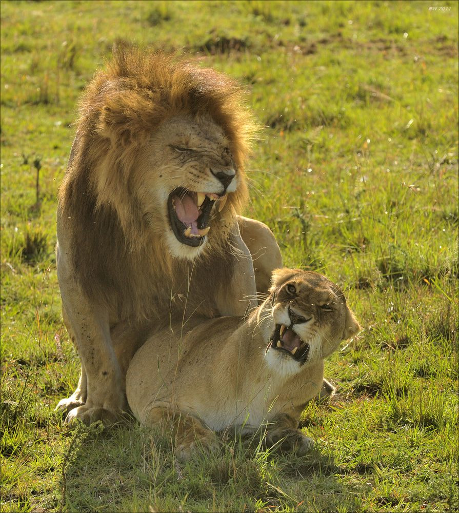 Photograph Mating Lions by Elmar Weiss on 500px