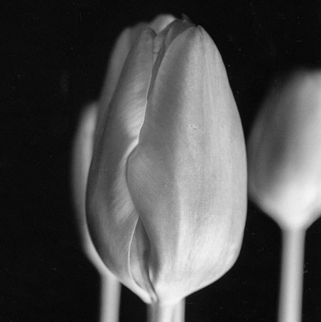 Photograph Tulip by Dan Miller on 500px