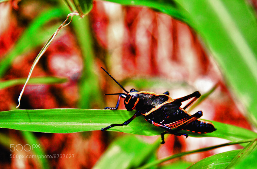 Photograph Black cricket by Carlos Céspedes Photography on 500px