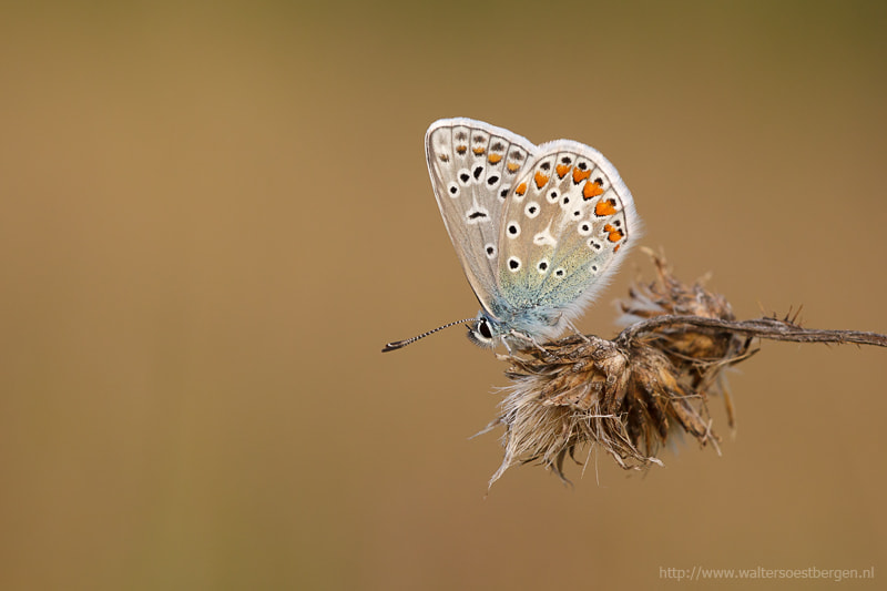 Photograph Common Blue by Walter Soestbergen on 500px