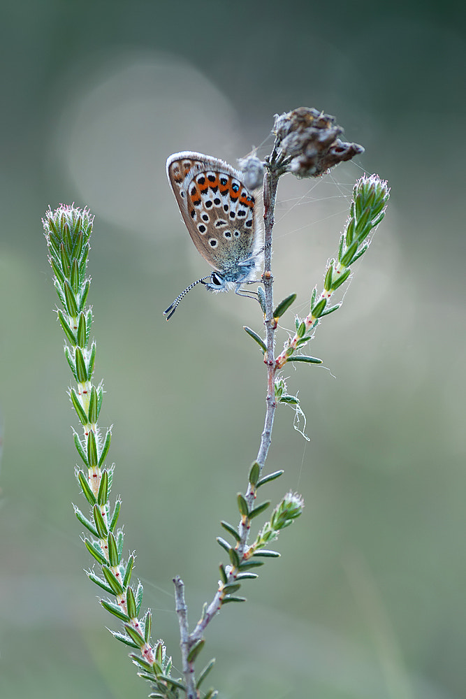 Photograph Silver-studded blue by Tom  Kruissink on 500px
