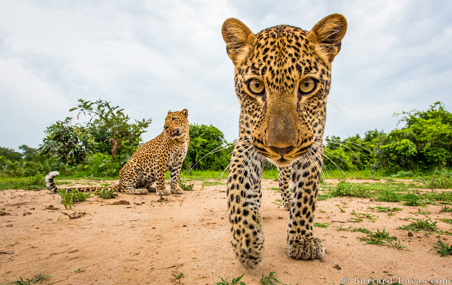 Playful Leopard Cub by Will Burrard-Lucas on 500px.com