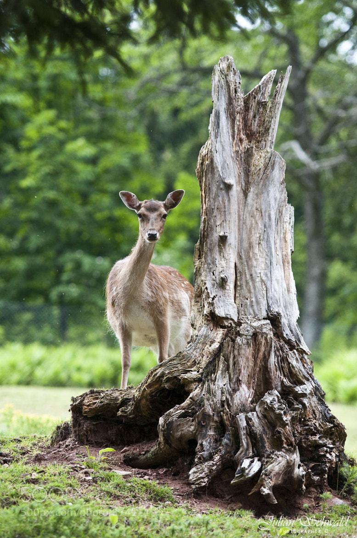 Photograph Deer by Julian Schwald on 500px
