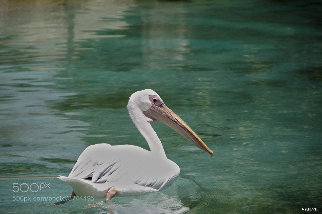 Photograph pelican by Alvaro Ramirez on 500px