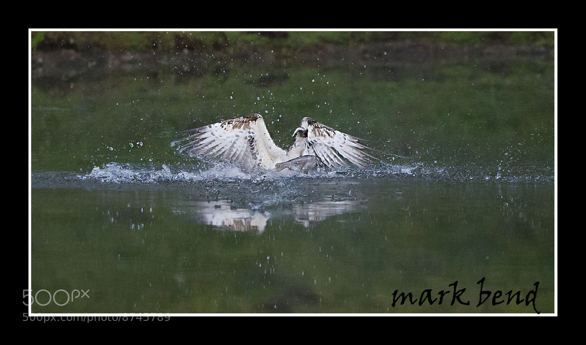 Photograph fishing osprey by Mark Bend on 500px