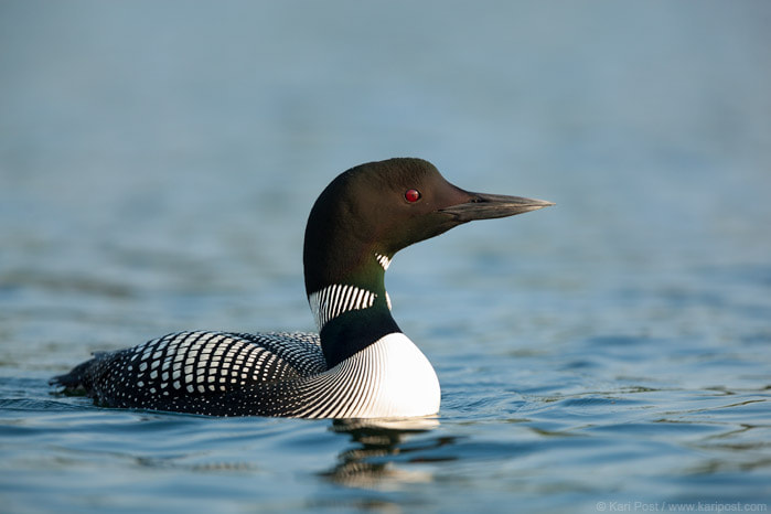 Photograph Common Loon by Kari Post on 500px