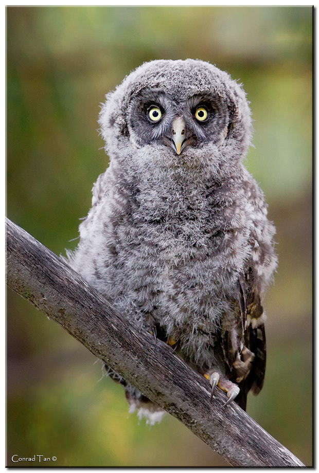 Photograph Great Gray Owlet by Conrad Tan on 500px
