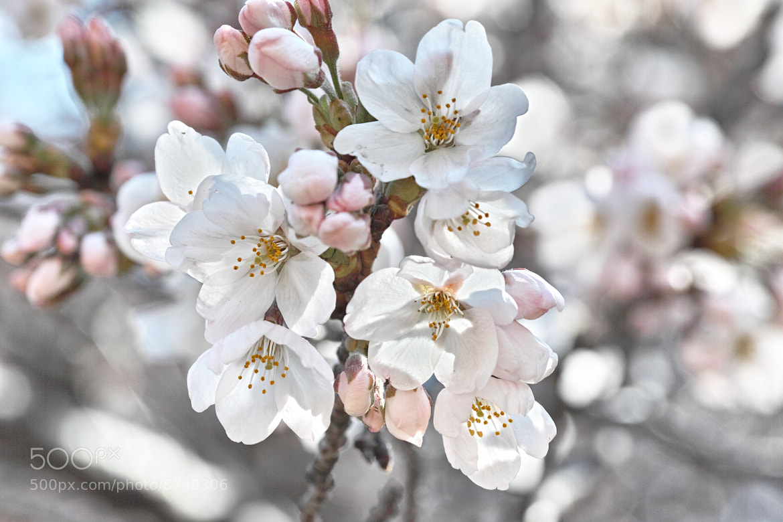 Photograph Yoshino cherry tree by marbee .info on 500px
