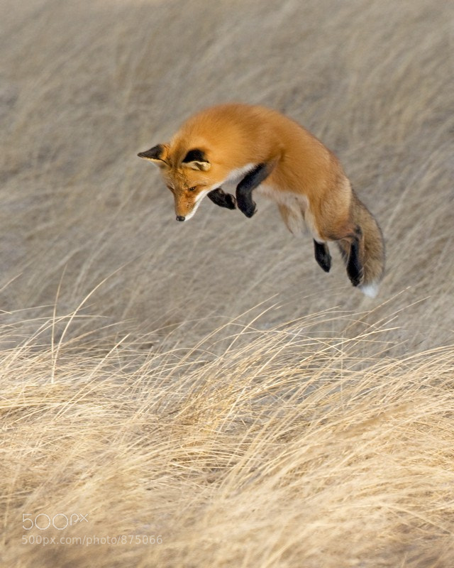 Photograph Fox in Flight by Bob Malbon on 500px