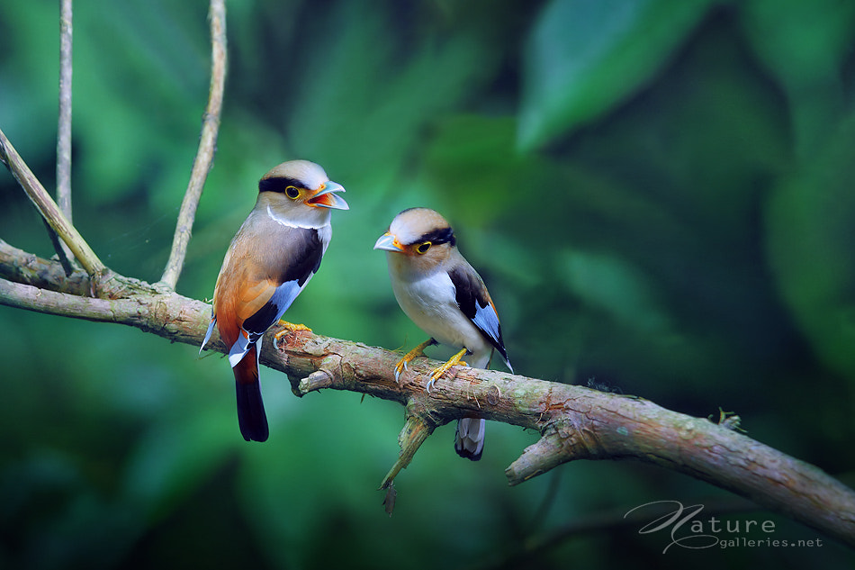 Photograph Silver-breasted Broadbill by Sasi - smit on 500px
