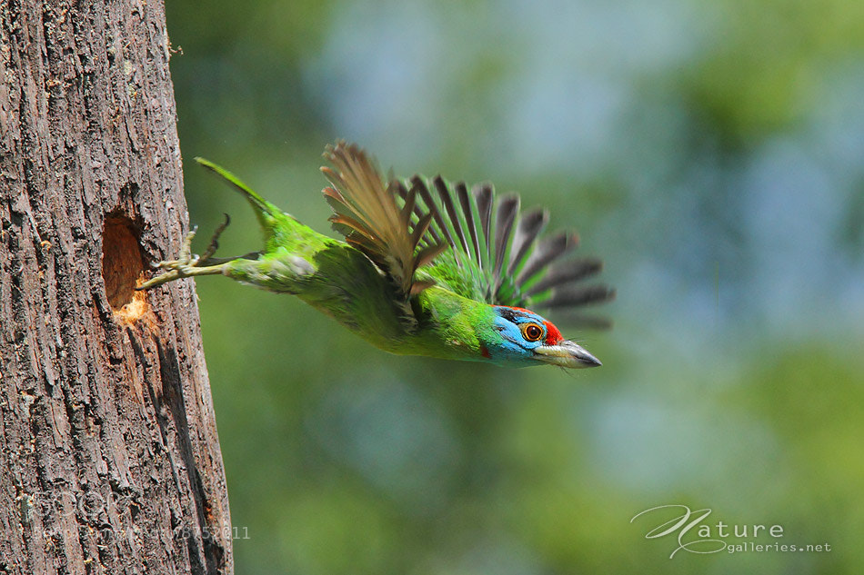 Photograph Blue-throated barbet by Sasi - smit on 500px
