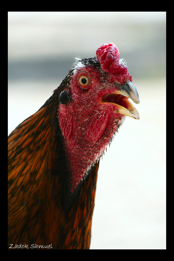 Photograph Fighting cock by Zadok Shmuel on 500px