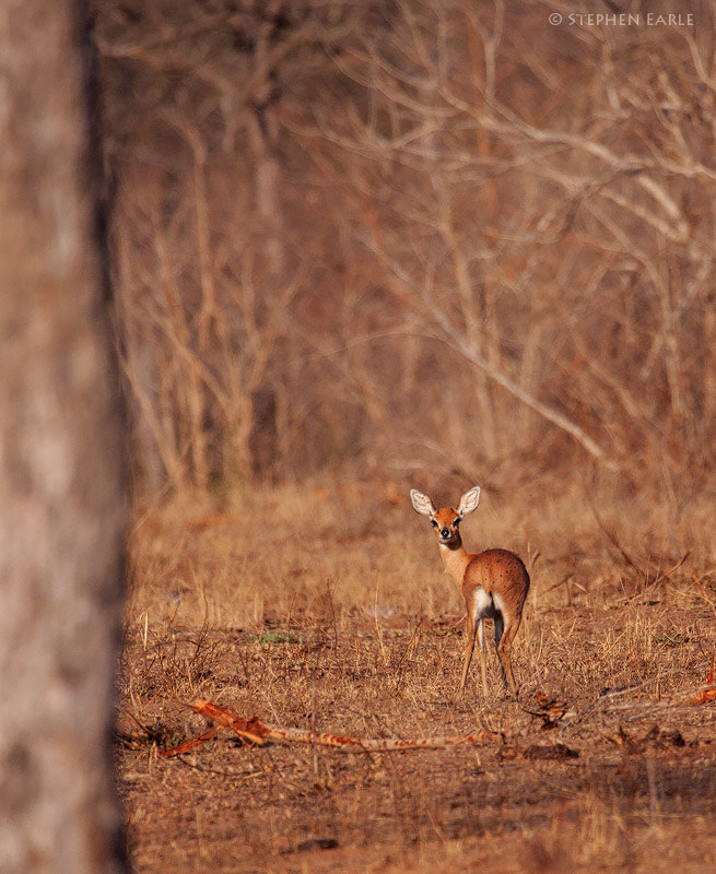 Photograph Steenbok by Stephen Earle on 500px