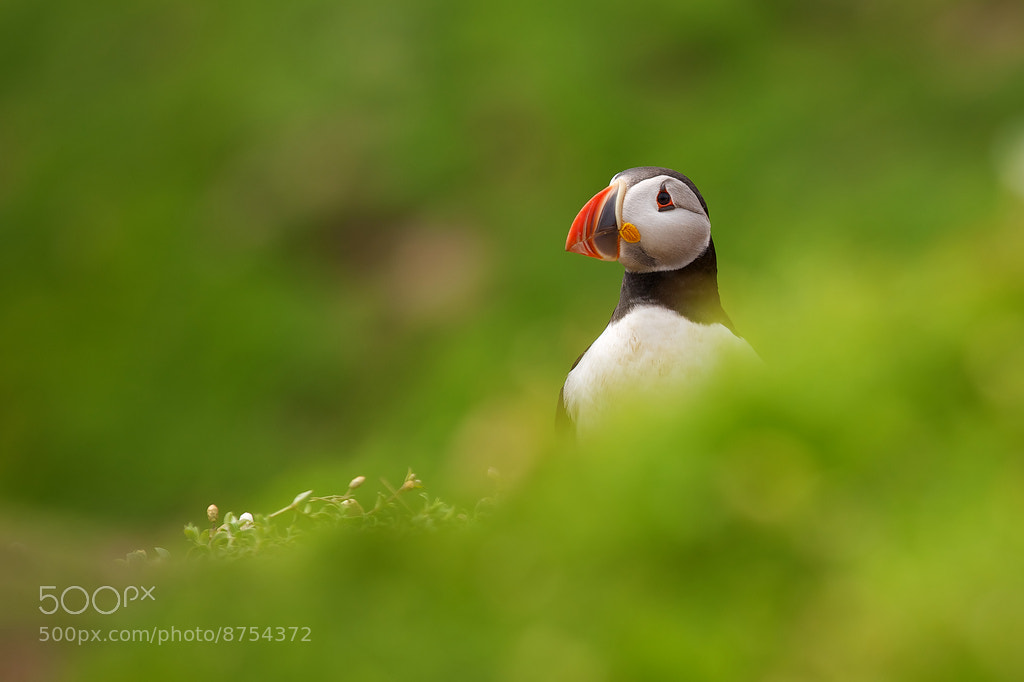 Photograph Puffin by Mark Bridger on 500px