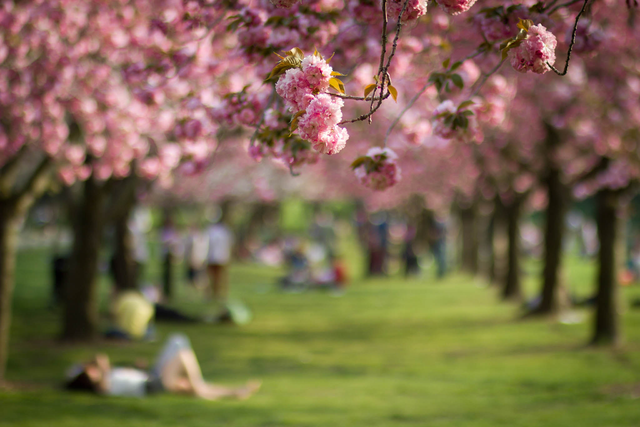 Photograph Cherry Blossoms in Brooklyn by Jane Hu on 500px