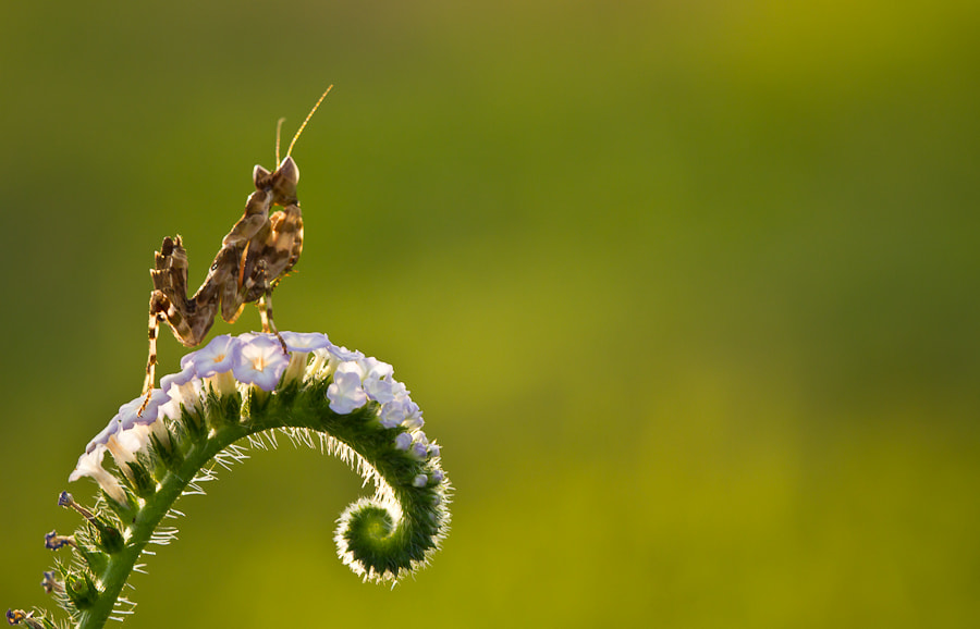Photograph The Mantis by Faddly Prayudy on 500px