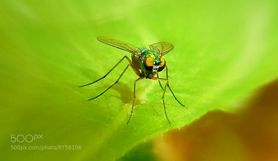 Photograph Iridescent Fly by Premkumar Antony on 500px