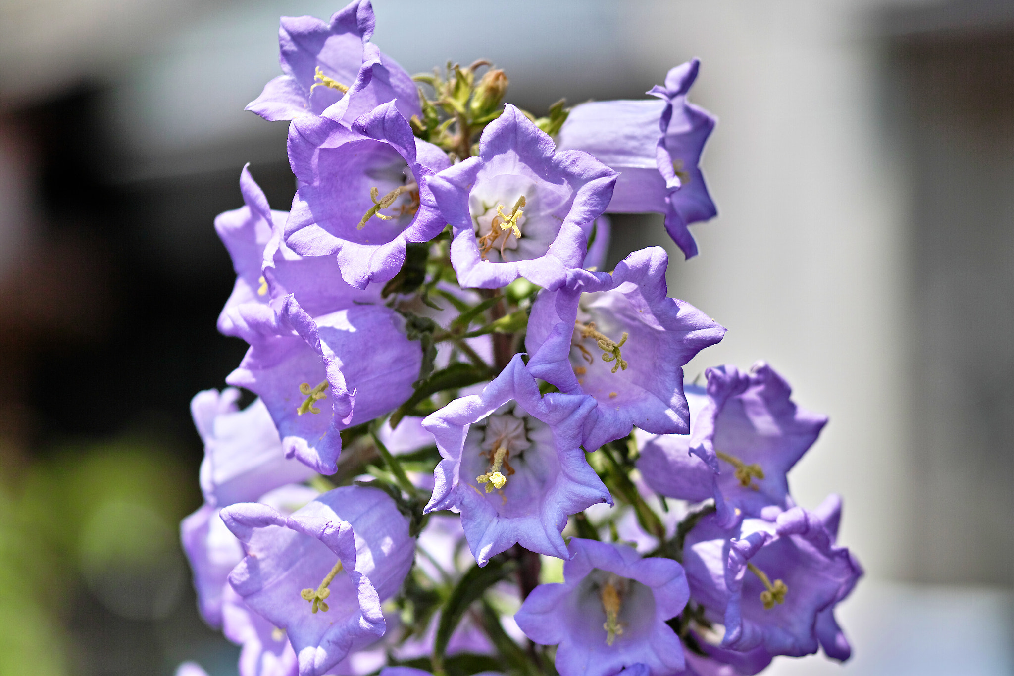 Photograph Campanula by marbee .info on 500px