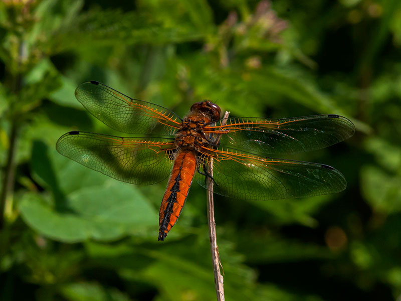 Photograph scarce chaser by dave blackwell on 500px