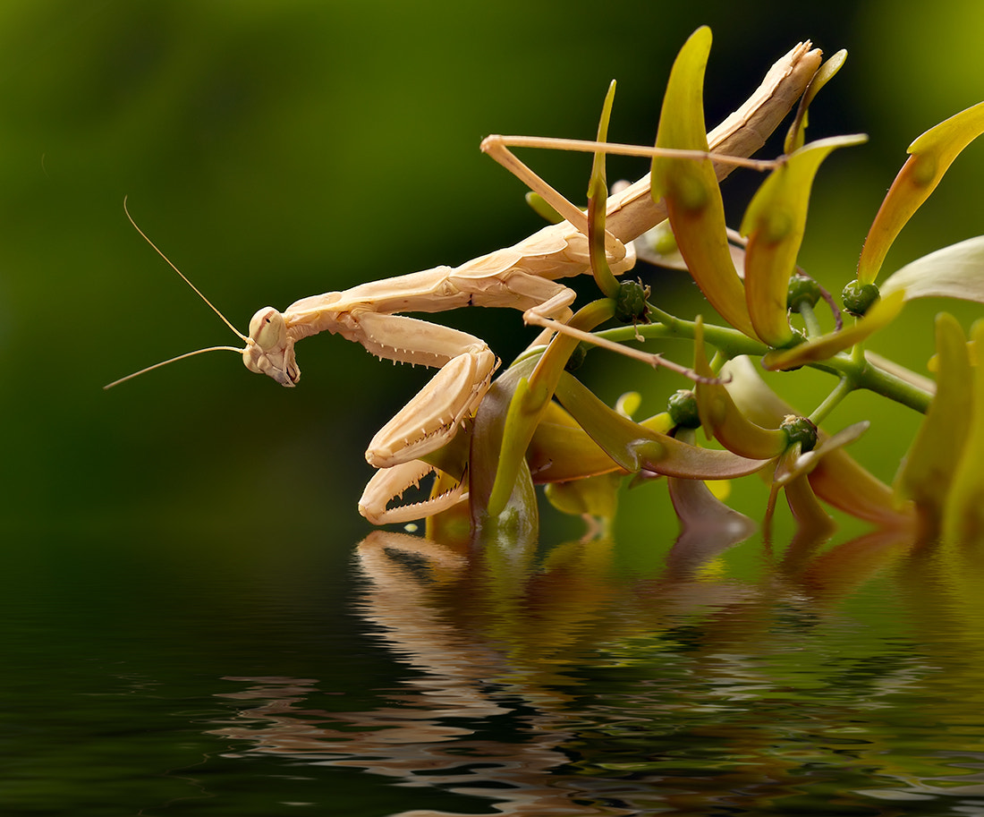 Photograph Mantis 7 by Iman Mehr on 500px