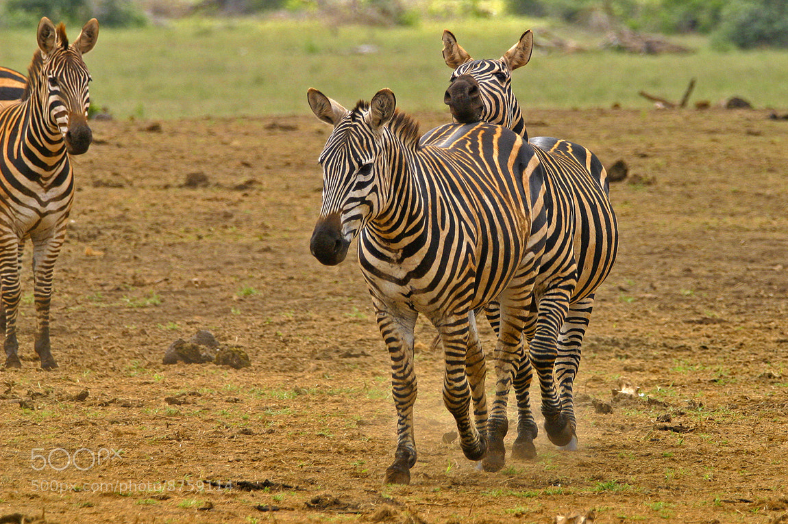 Photograph Obvious intentions . . . dirty zebra by Tim Allen on 500px
