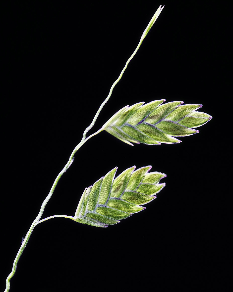 Photograph Northern Sea Oats by John Mead on 500px
