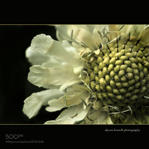 Photograph Pin Cushion Flower!! by Alyson Fennell on 500px