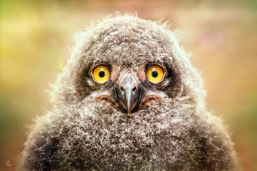 Photograph Grumpy snowy owl chick by Manuela Kulpa on 500px