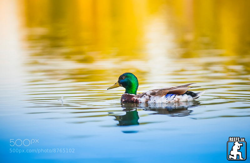Photograph duck (reefe) by Peter reefe Kovac on 500px