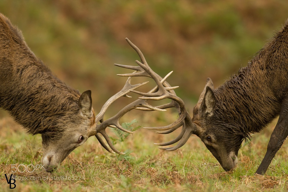 Photograph Fighting for a female by Valentin Paul BLONCE on 500px