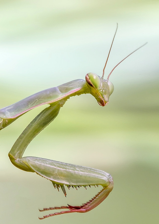 Photograph Ninfa Mantis by Xavier Gutierrez on 500px