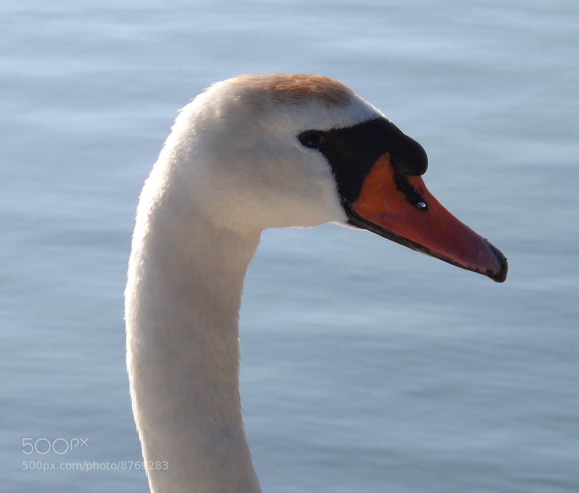 Photograph Swan by Max Rigden on 500px