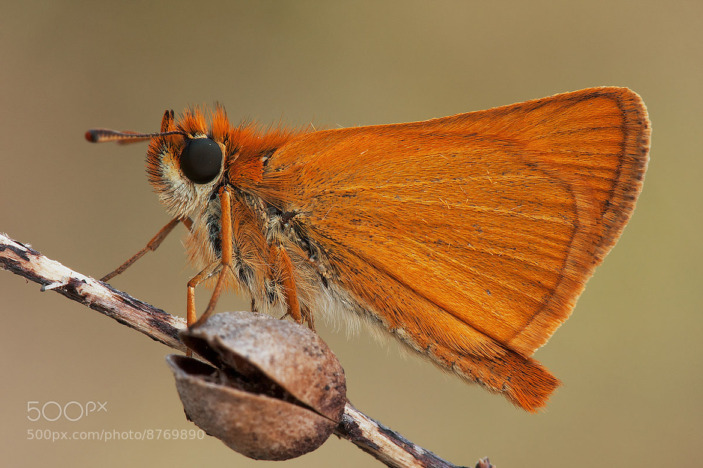 Photograph Thymelicus sylvestris  by Tamara Kavalou on 500px