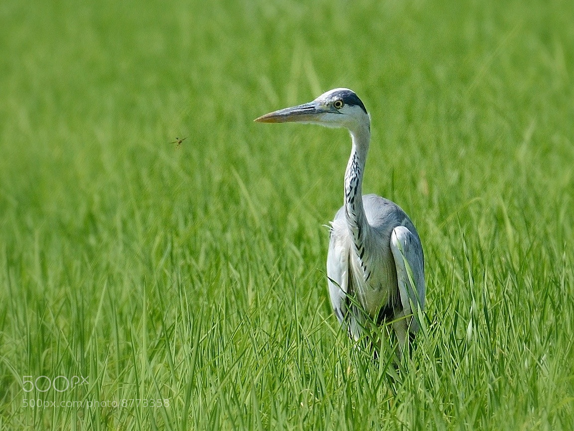 Photograph Gray heron by Roby Villa on 500px