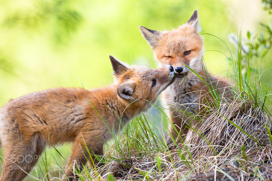Photograph Two fox cub siblings by Nicolas Dory on 500px