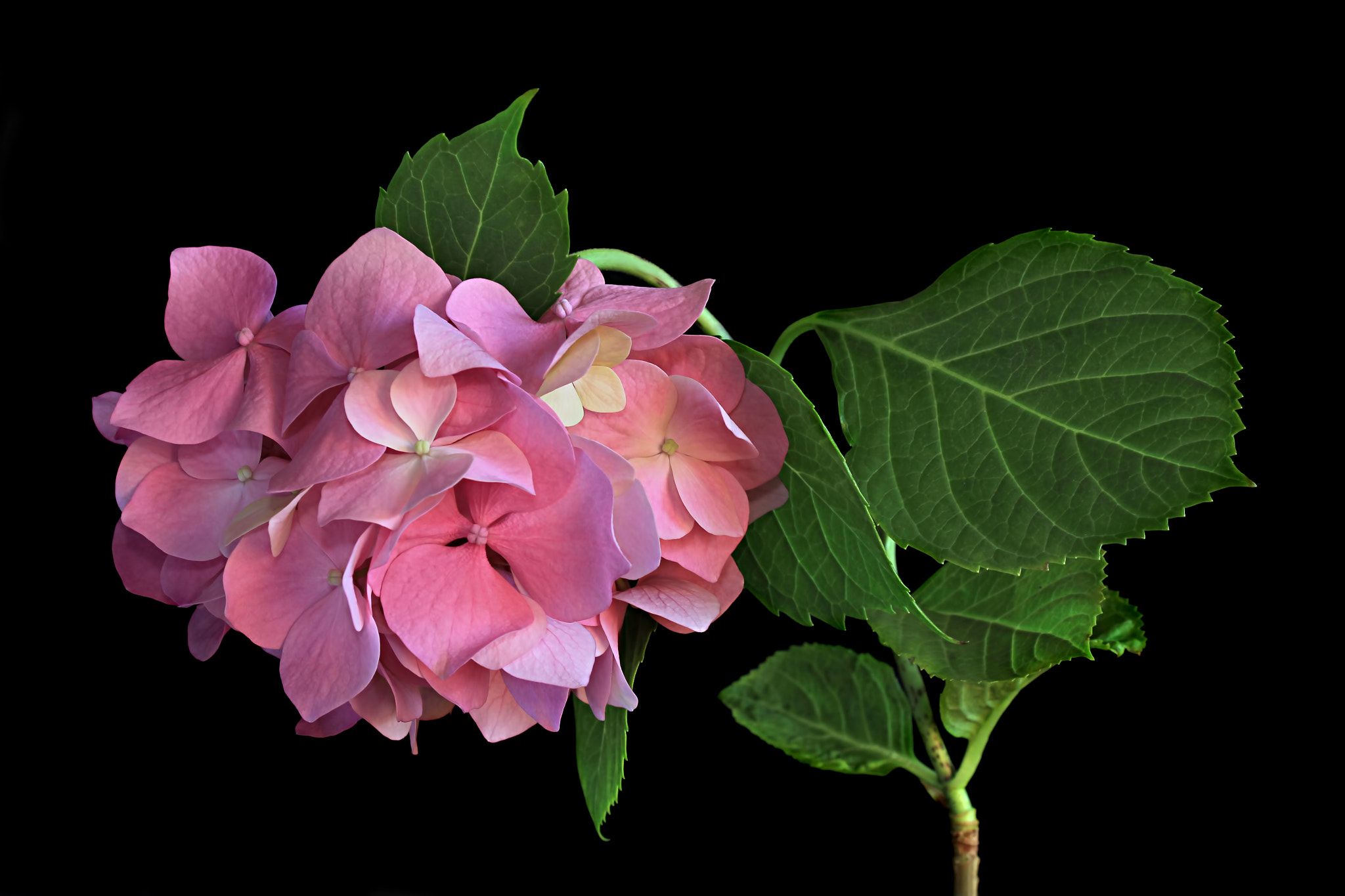 Photograph Hydrangea by Vendenis   on 500px