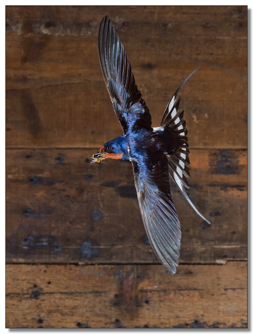 Photograph Swallow with hoverfly by Mike Hudson on 500px