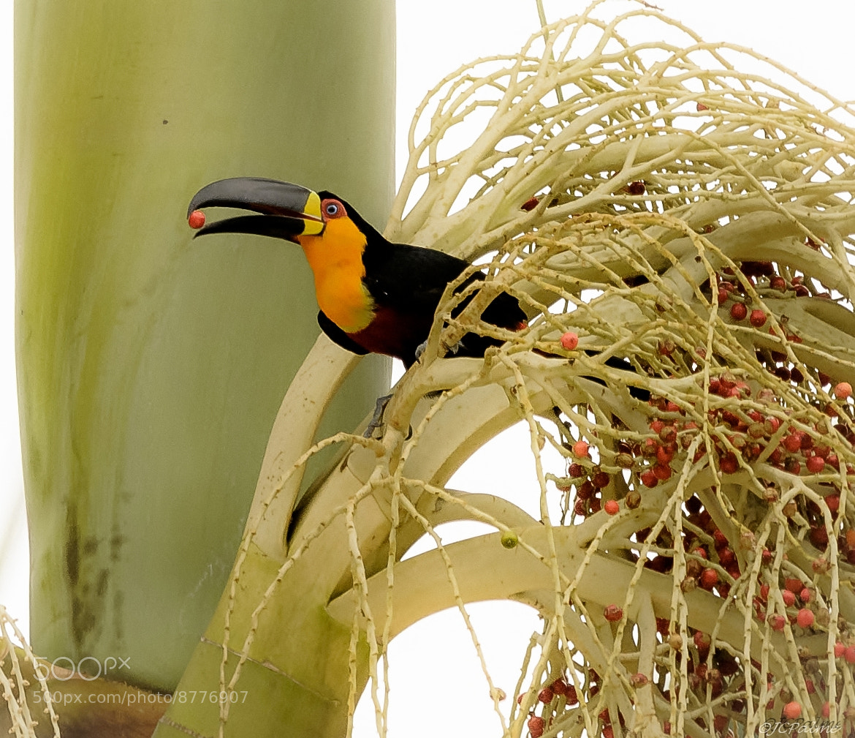 Photograph Tucano de bico preto by JC Palme on 500px