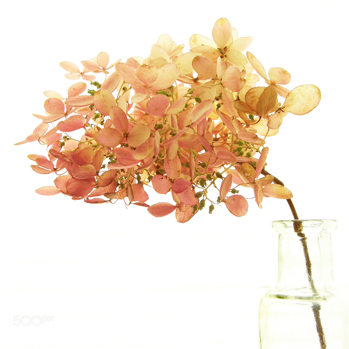 Photograph Pink hydrangea by Rosie Cheeks on 500px