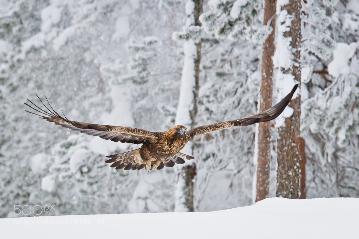 Photograph Golden Eagle (Aquila chrysaetos) by Tapio Kaisla on 500px
