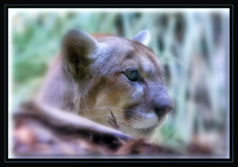 Photograph Puma by Greg McLemore on 500px