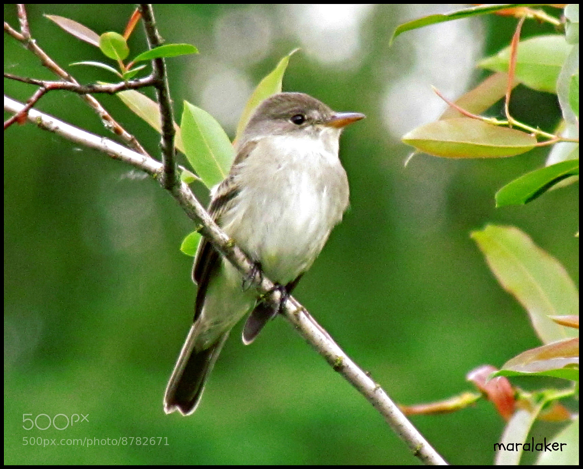 Photograph Flycatcher? by colleen thurgood on 500px