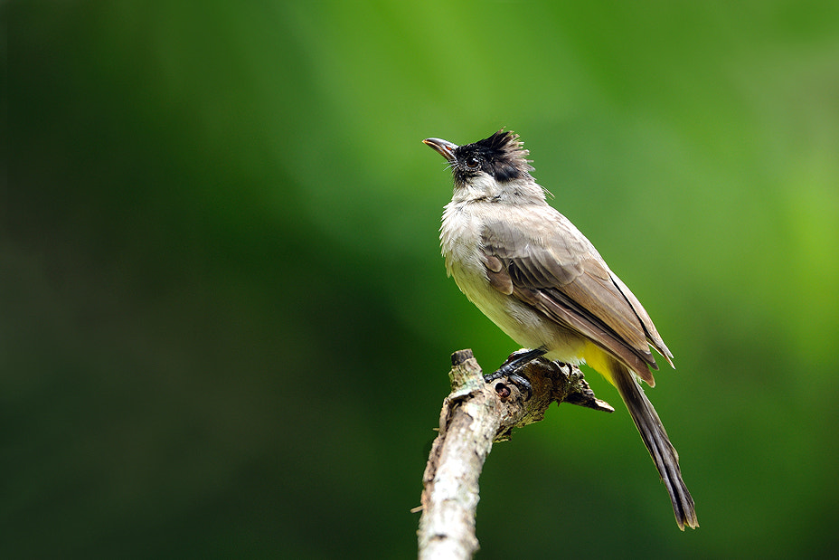 Photograph Sooty-headed Bulbul by Surachai Chartsuwan on 500px