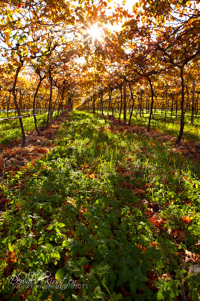 Photograph Vineyard Passage by Dewald Kirsten on 500px