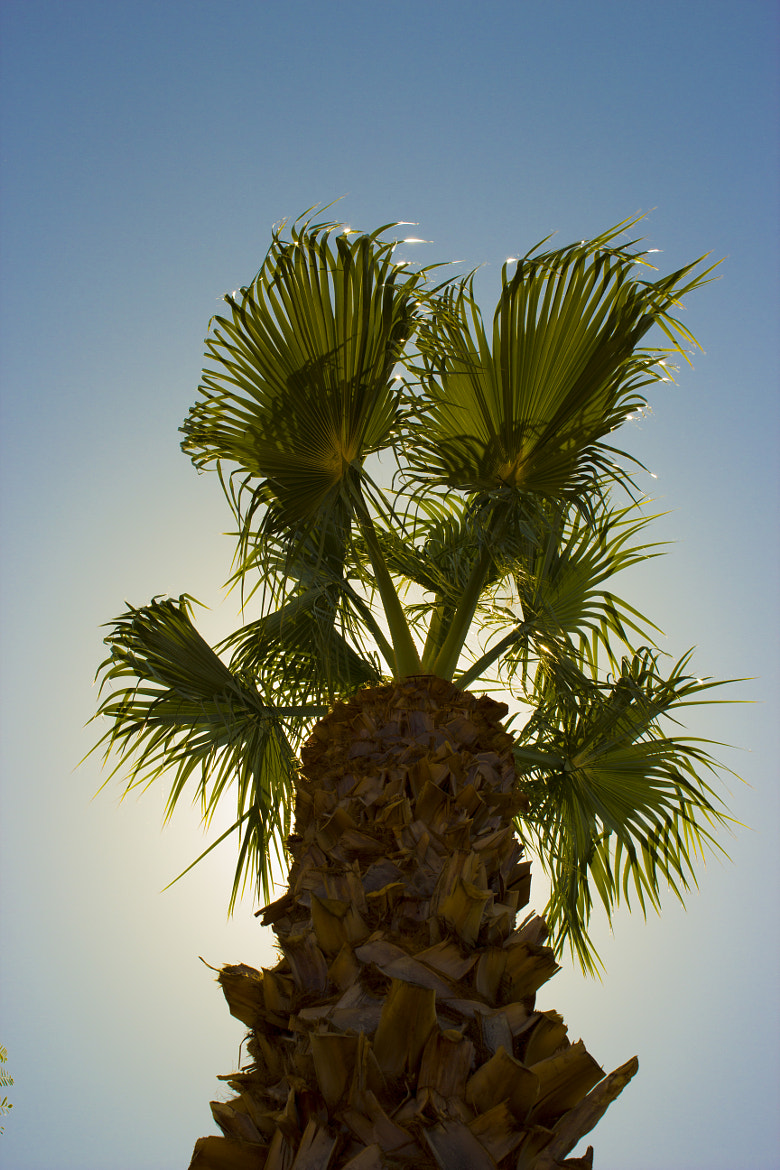 Photograph Glowing Palm Tree by Jacob Harris on 500px