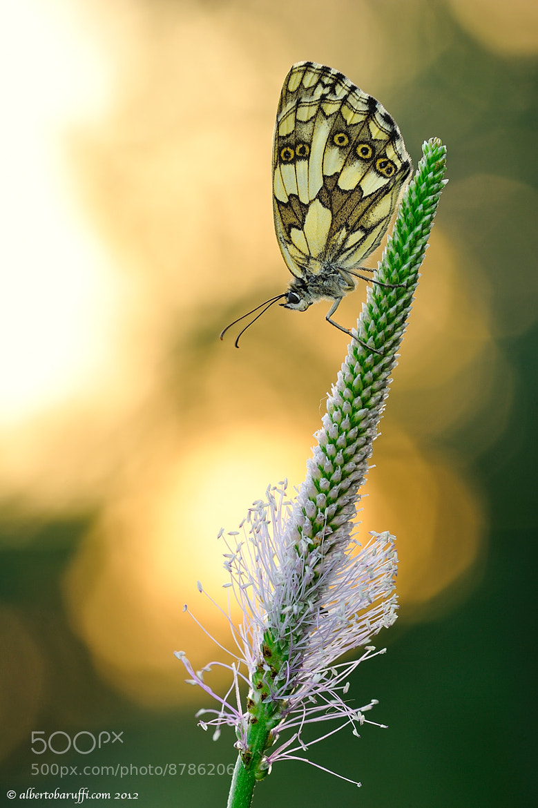 Photograph Melanargia at sunset by Alberto Baruffi on 500px