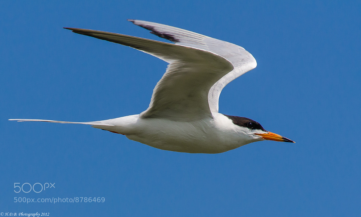 Photograph Common Tern by Harold Begun on 500px