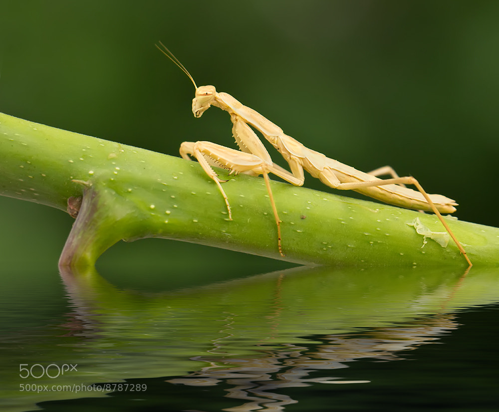Photograph Mantis 8 by iman mehr on 500px