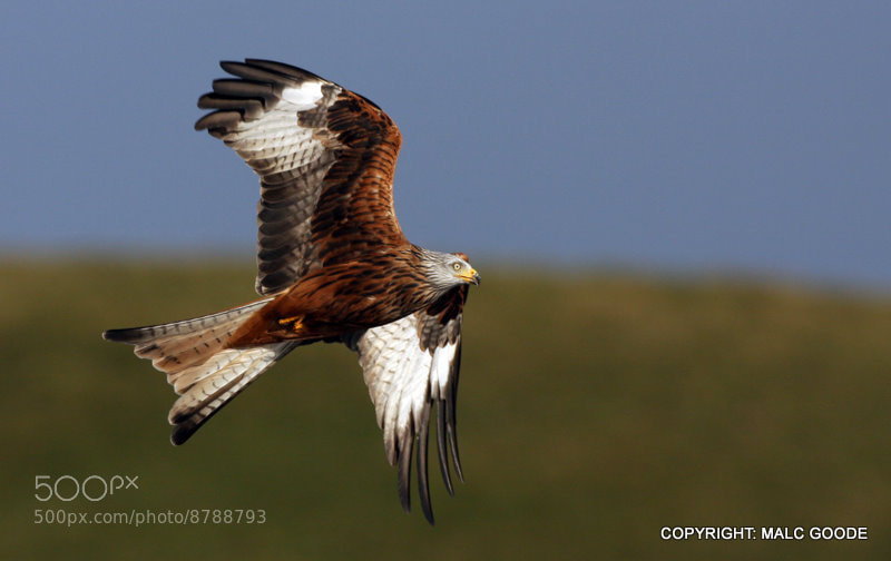 Photograph Wild Welsh Red Kite by Malc Goode on 500px