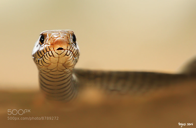 Photograph Rat snake by Tejas Soni on 500px